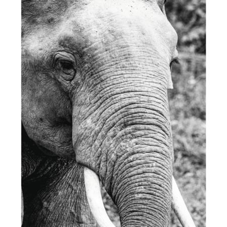 Elefant - plakat